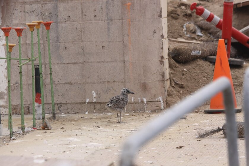 A seagull chick nesting at the Children's Pool lifeguard tower site caused a construction delay from June to July 2014.