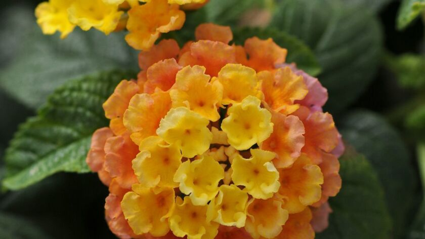 Lantana comes in many colors and can be bushy or spreading.