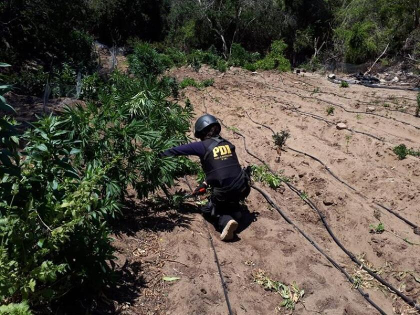 Photo sent by Chilean Police (PDI) of an agent cutting cannabis in Los Vilos, Chile on Dec. 28, 2018. EPA-EFE/Chile