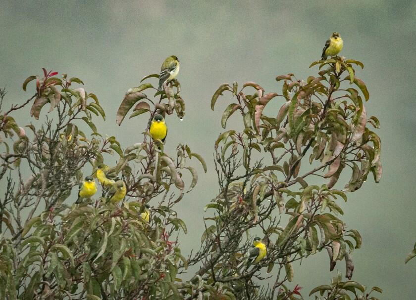 Goldfinch Ornaments.jpg