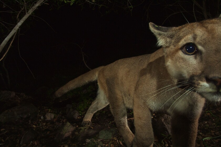 P-32, the young male mountain lion, sniffs at the camera in February.