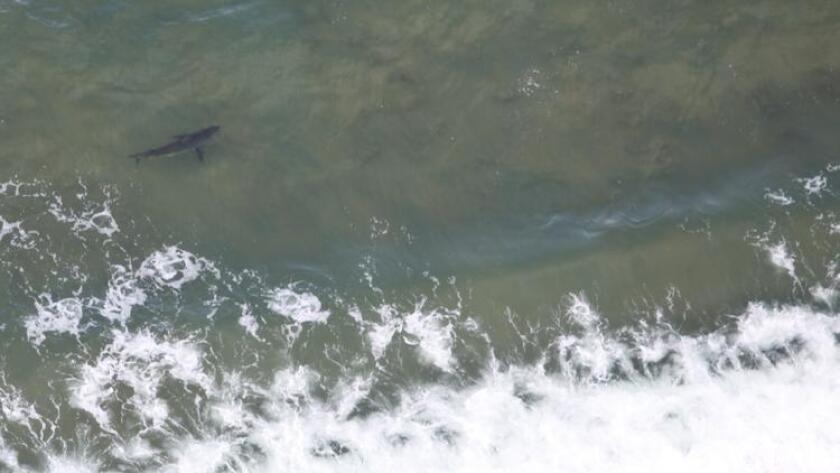 Un tiburón avistado a yardas de la costa de Huntington Beach, en mayo de 2015.