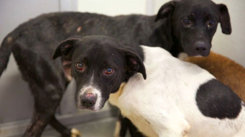 Two of the 35 dogs rescued from the Corona home of a suspected bank robber.