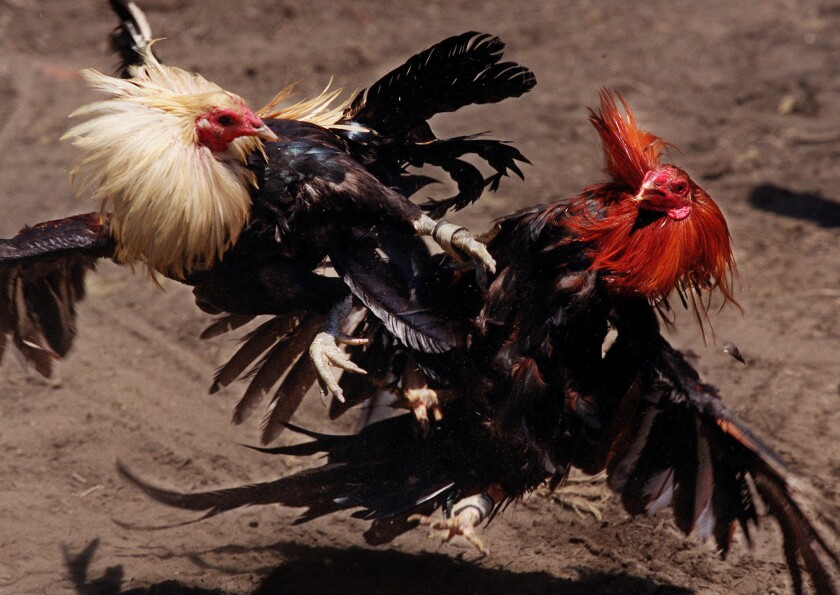 Animal-fight spectators face stiff penalties under proposed law