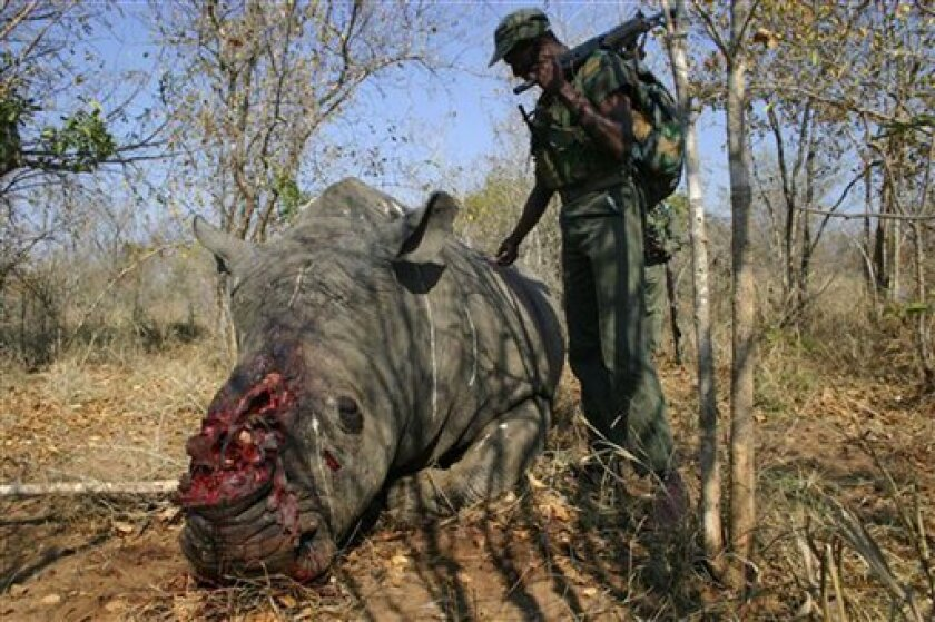 In this photo made available by the Communication and Liaison Services of the Office of the South African National Commissioner, the corpse of a slaughtered Rhino lays on the ground in a national park in South Africa. South African police and game park rangers said Friday Jan 16, 2009 they have arr