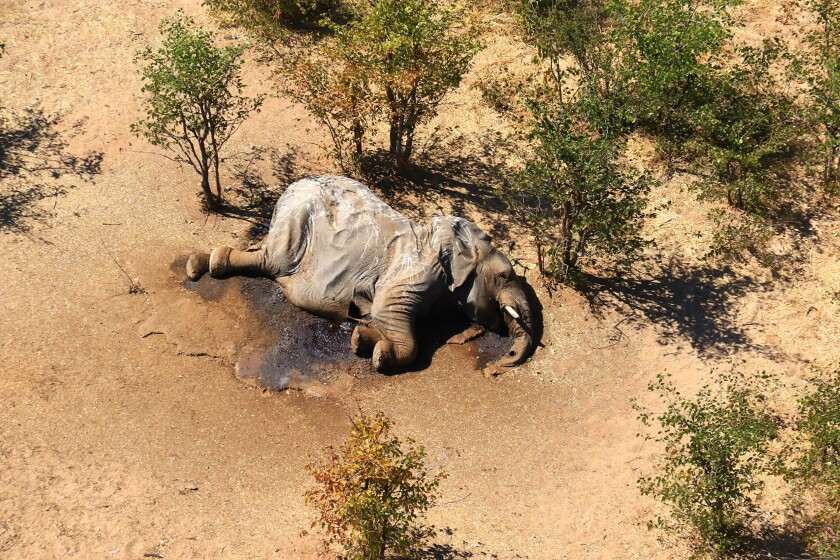 A dead elephant lies in the bush in Botswana.
