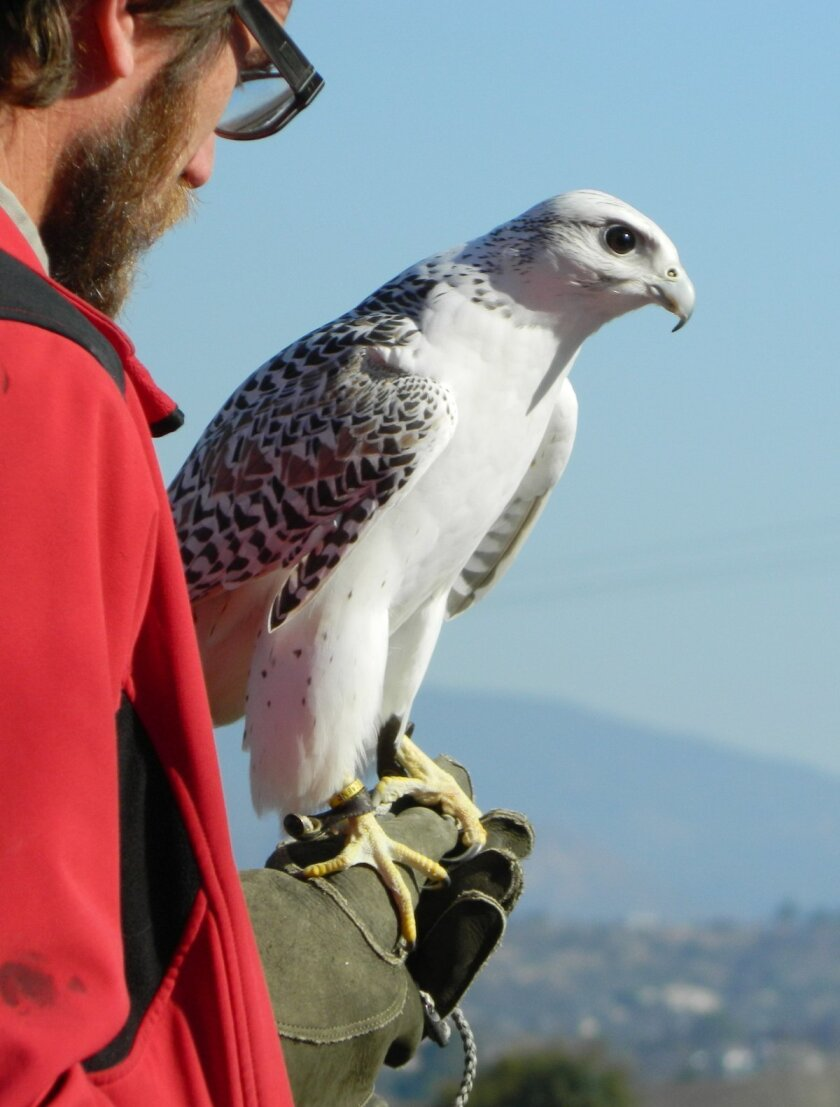 The rarest of the birds shown during Hawk Watch is a gyrfalcon, a native of the Arctic Circle.
