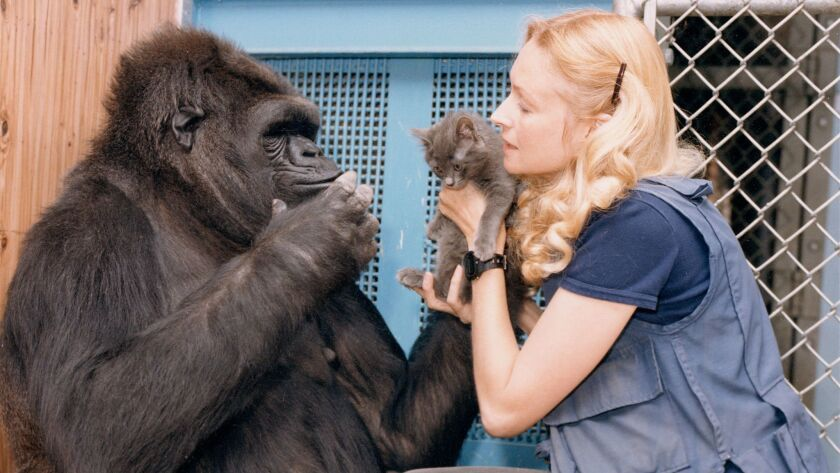 Koko is introduced to a kitten by Francine Patterson, who taught the gorilla to use sign language.
