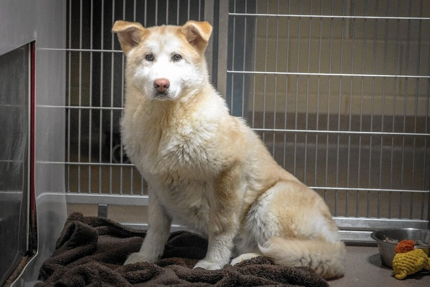 The San Diego Humane Society is caring for 30 dogs and puppies rescued this week from a Korean dog meat farm.