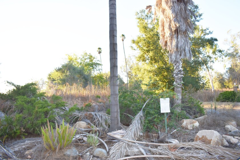 Some of the overgrown weeds and vegetation viewable from the former StoneRidge Country Club driveway on Espola Road in Poway.