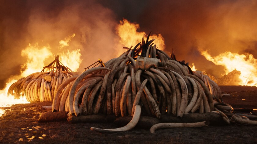 Elephant Tusk Burn, Nairobi National Park, Kenya, 'Anthropocene: The Human Epoch'