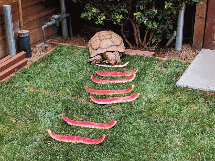 Watermelon Marching: I am an 18-year-old tortoise and love eating kale, apple and lettuce. Here I am eating watermelon this balmy summer. Please come by mi casa (across from Rigoberto's Taco Shop) and bring your leftover veggies.