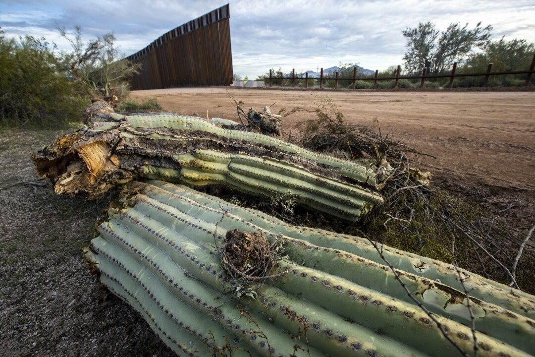 A saguaro cactus lies on the ground after having been uprooted the day before by construction crews making way for new border wall on Puerto Blanco Drive in Organ Pipe Cactus National Monument in Arizona.