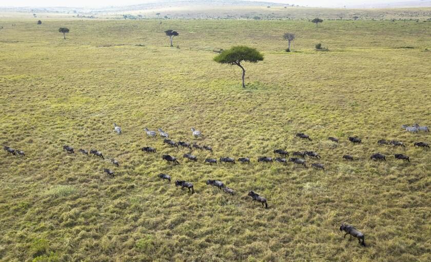 La migración anual de ñus del parque nacional Serengeti en Tanzania a la reserva nacional Maasai Mara en Kenia