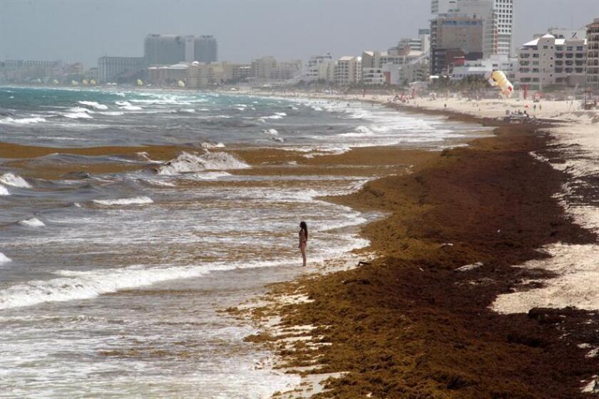 Fotografía de archivo del 28 de junio de 2018, que muestra el arribo de sargazos en playas de Cancún, en el estado de Quintana Roo (México). EFE/ARCHIVO
