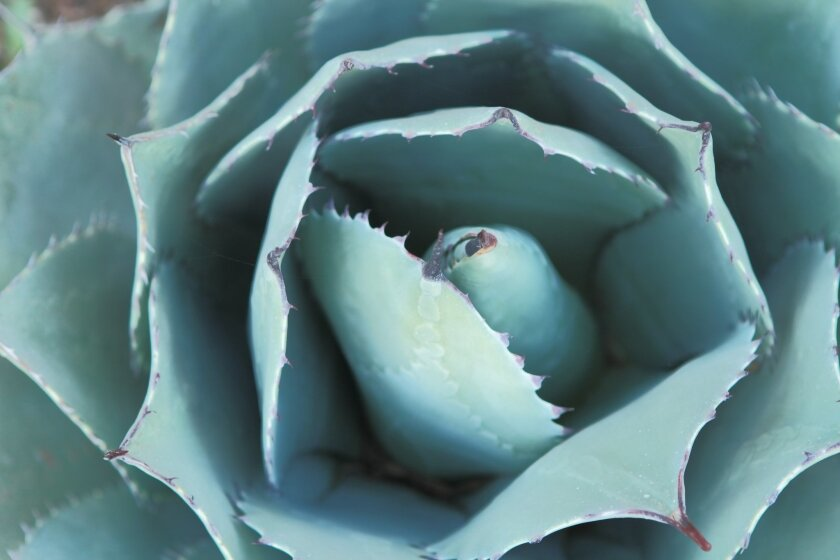 Low-water-use plants like agave (above), lantana and lavender will be offered at discounts during upcoming plant fairs.