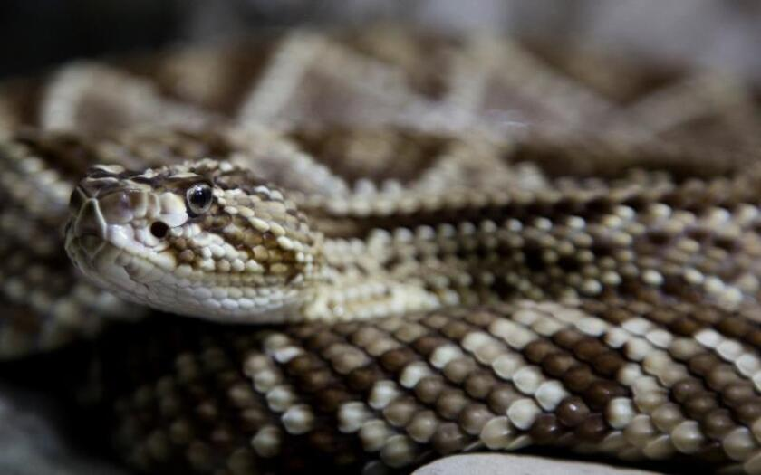 Fotografía de archivo de un ejemplar de serpiente de cascabel . EFE/Ricardo Maldonado Rozo/Archivo