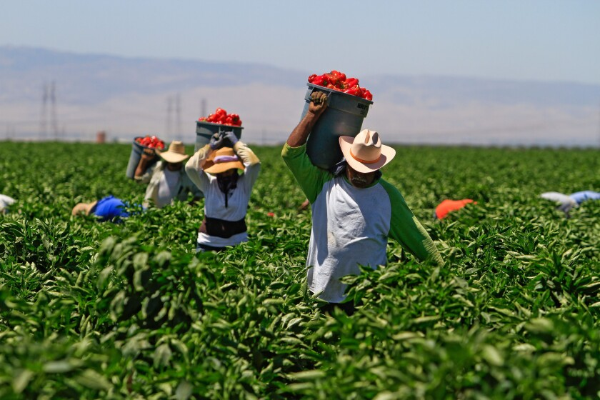 Workers haul buckets full of red bell peppers at a farm in the Bakersfield area in 2011.