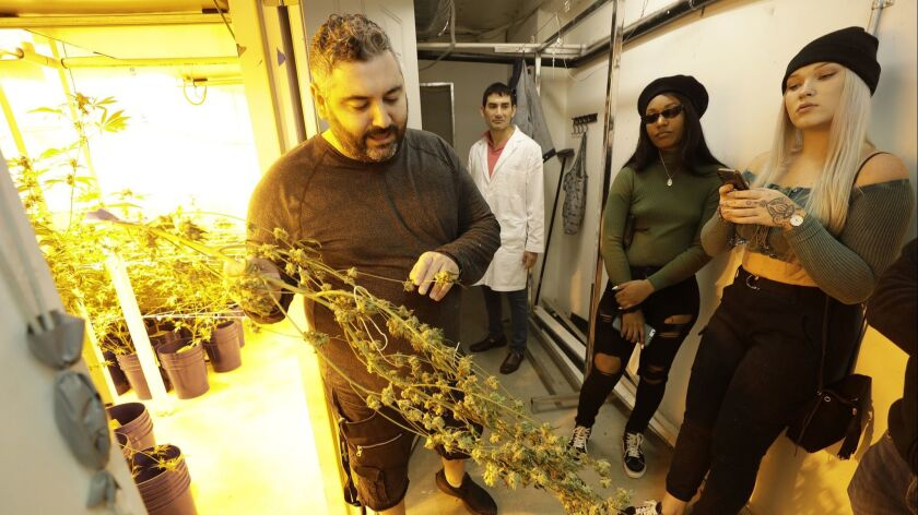 Michael Ashbel, owner of MMD in North Hollywood, shows a marijuana plant that is going through the curing process during a visit to his facility by Green Tours.