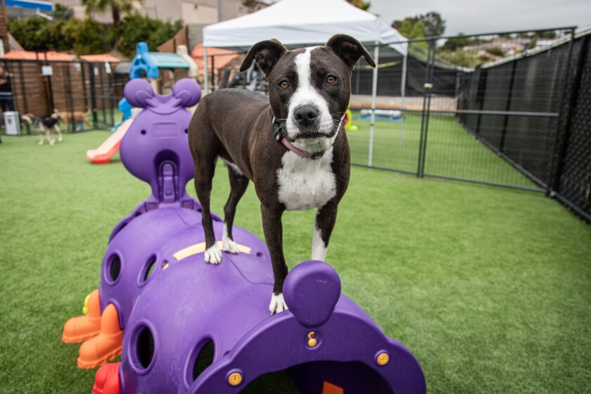Dogs have plenty of room to run and play outdoors at The Dog Society in San Diego.