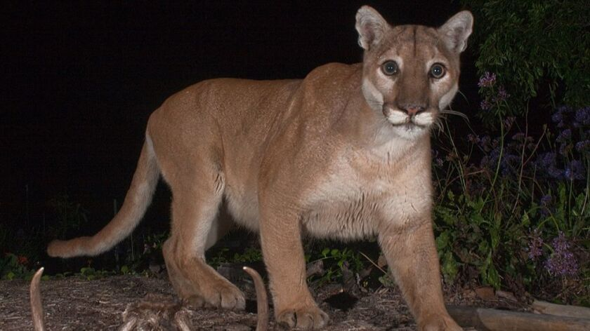 Mountain lion P-41, who was found dead last October, tested positive for rat poison.