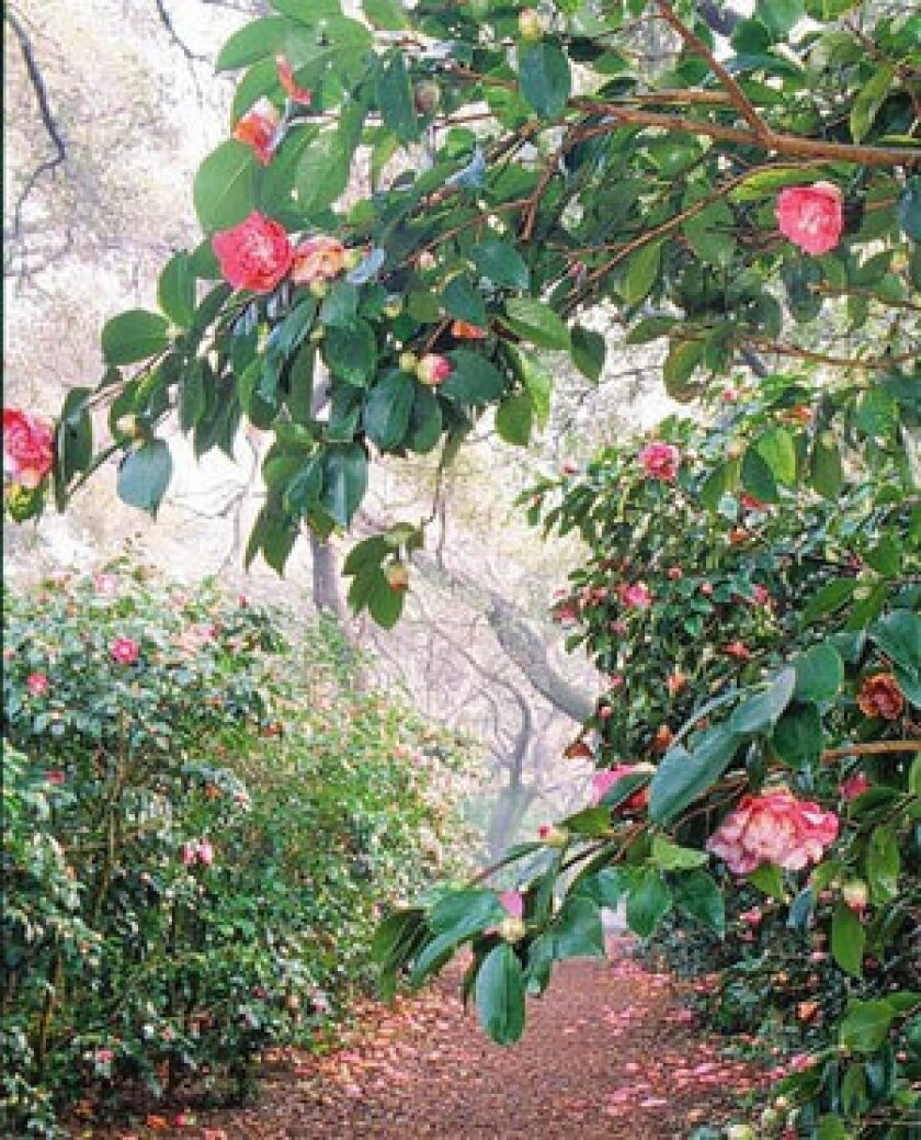 Camellias make for colorful walks at Descanso Gardens, which is celebrating their winter blooms Jan. 11-12.