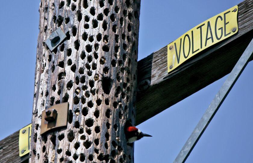 Acorn woodpecker on Altadena's Chaney Trail