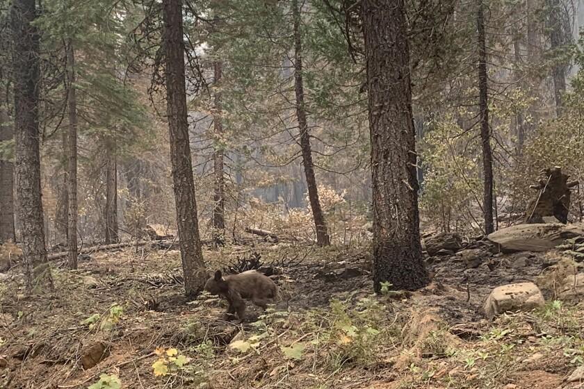 A lone bear cub