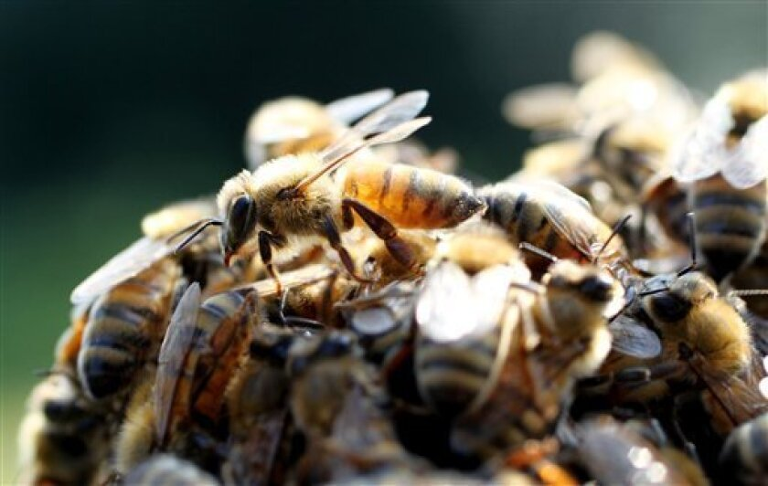 In this photo taken Sept. 23, 2010, honey bee's swarm around the queen bee during a demonstration for agriculture students at North Carolina State University in Raleigh, N.C. (AP Photo/Jim R. Bounds)