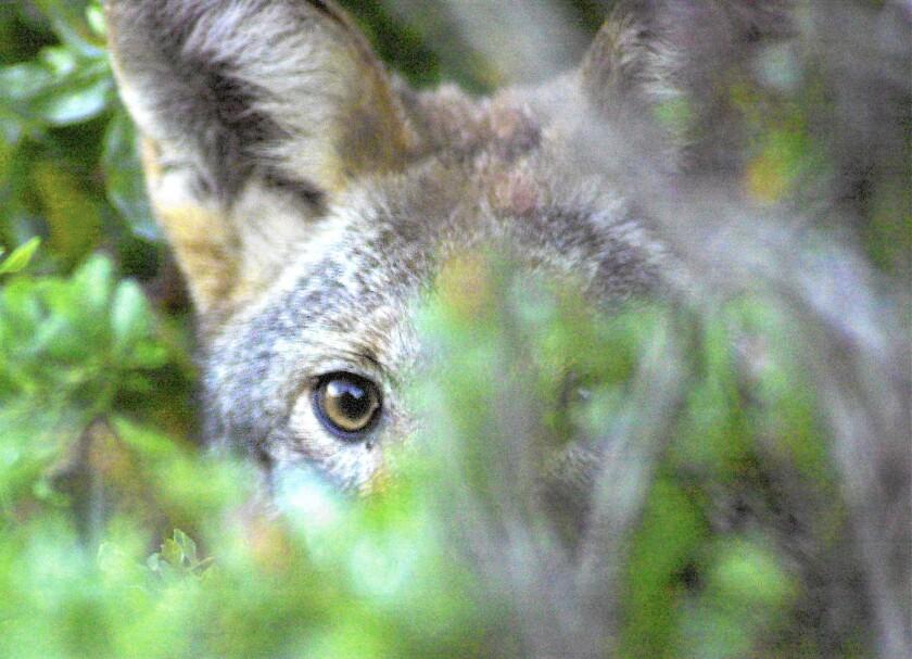 tn-dpt-me-0725-coyote-jpg-20151120