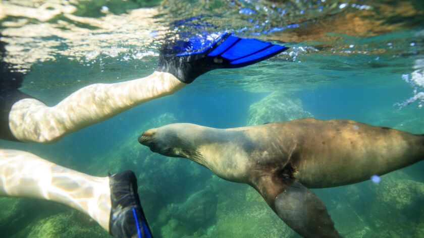 Snorkeler and sea lion at Los Islotes in Baja.