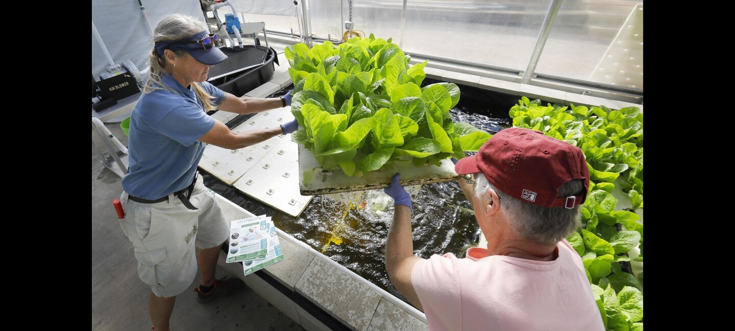 Ellen Lawler, left, of Escondido, and Sharon Talbott, right, of La Mesa, members of Senior Gleaners, carry a flat of Jericho lettuce from the solar powered greenhouse that uses a deep water culture system at the Ecolife Conservation Aquaphonics Innovation Center where it is being grown, to a harvesting table. The lettuce will be donated to the Vista Unified School District and various food banks.