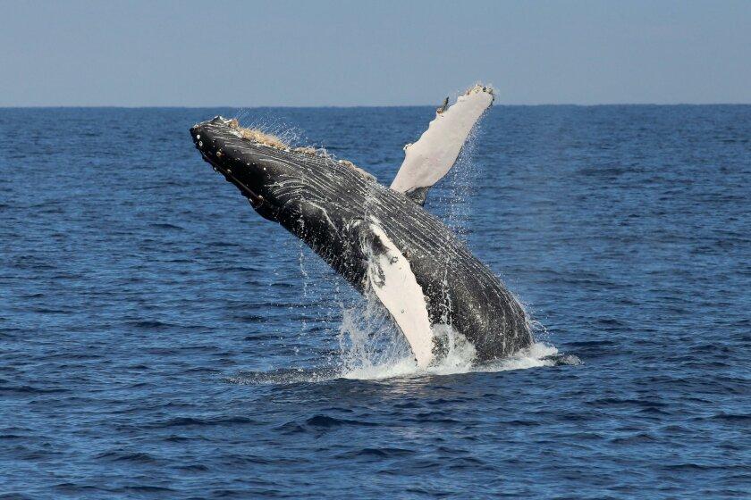 A spectacular humpback breach.
