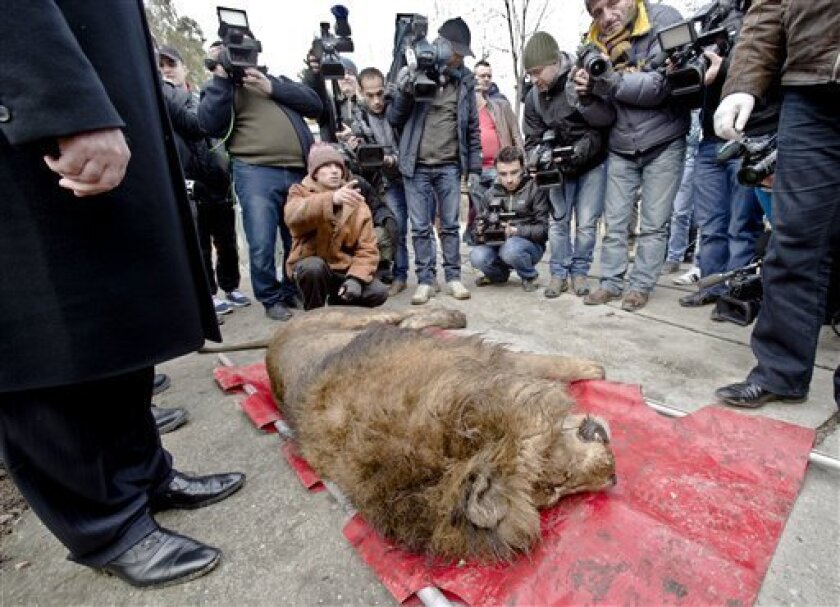 A sedated lion is surrounded by media at the estate of Ion Balint, known to Romanians as Nutzu the Pawnbroker, a notorious gangster, in Bucharest, Romania, Wednesday, Feb. 27, 2013. Authorities along with specialists of the animal welfare charity Vier Pfoten removed four lions and two bears that we