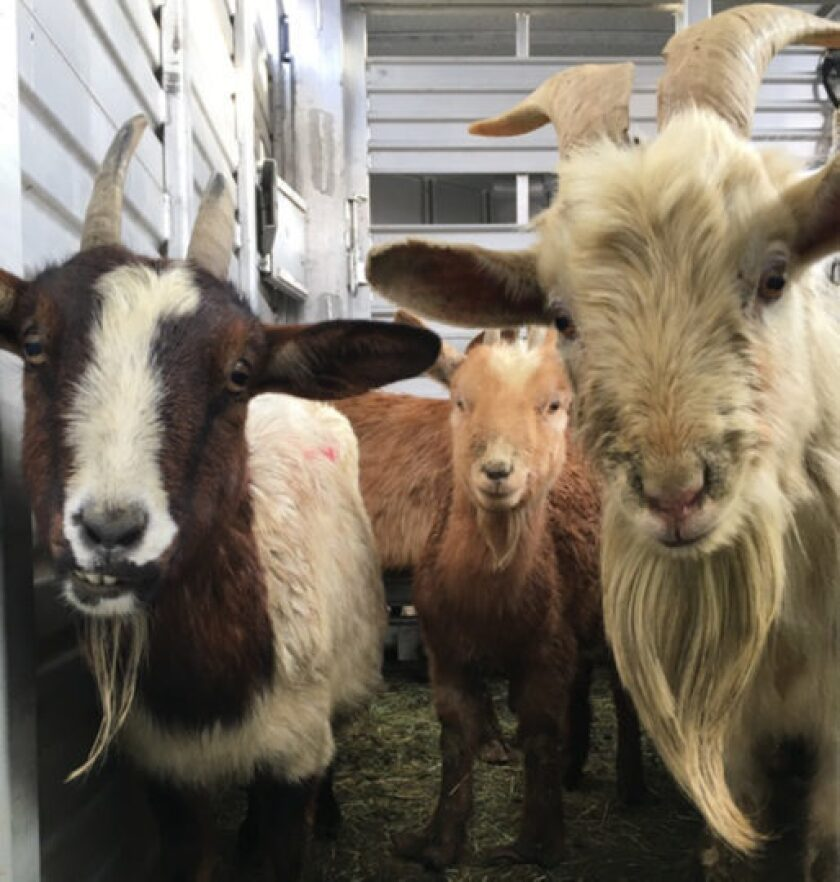 Animal control officers found nine goats dead and dozens more apparently starved at a property in Jamul Monday, officials said.