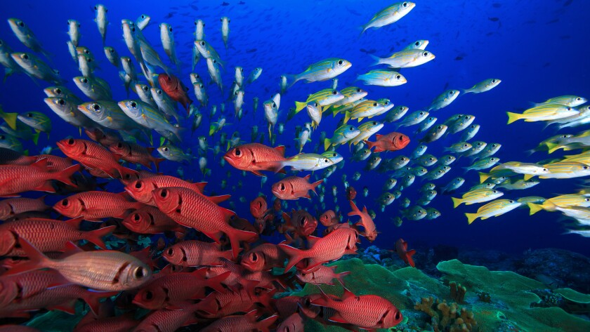 Marine-protected areas support a variety and abundance of reef fish in the Rock Islands of Palau, Micronesia.