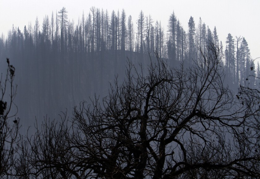 Trees burned by the Rim Fire in the Stanislaus National Forest. The Rim was the largest Sierra Nevada wildfire in more than a century of record keeping.