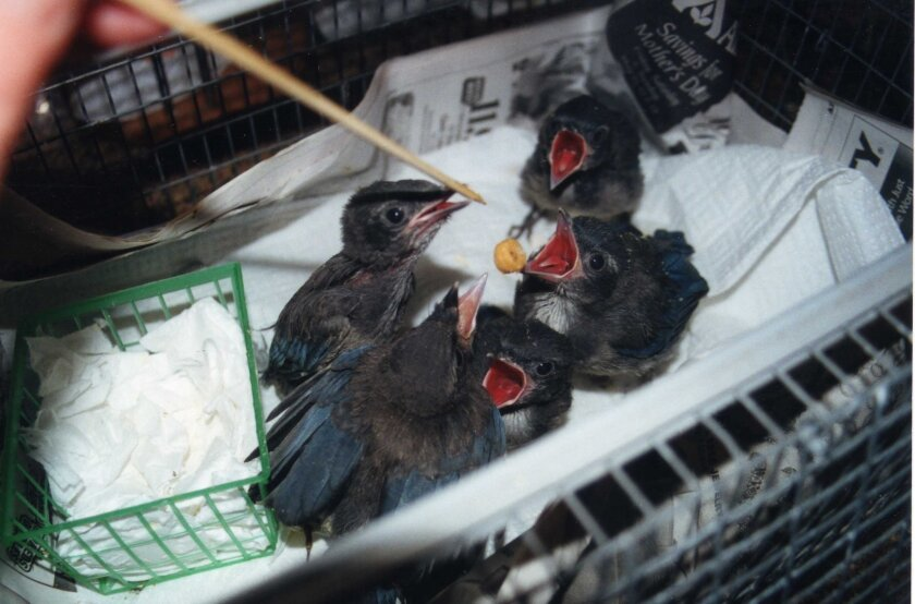 Orphaned baby blue jays hope for lunch.