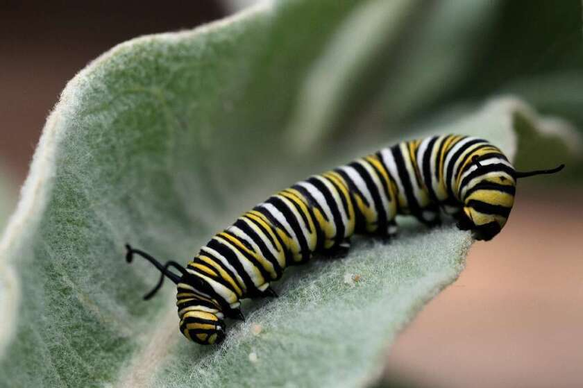 A monarch caterpillar munches on a milkweed leaf