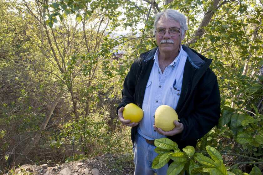 Steve Smith holds Chandler (left) and Reinking pummelo grown at his Mud Creek Ranch in Santa Paula.