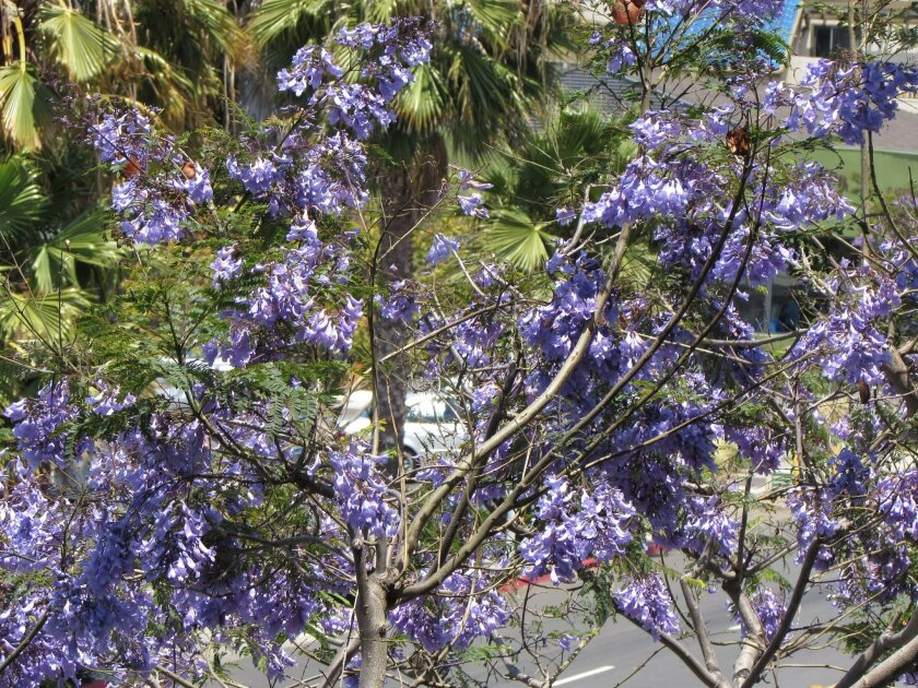 A native of Brazil and Argentina, the Jacarando tree flourishes in San Diego's sunny climate. Most of the year it is feathery green but, in the spring, it blooms with a profusion of lush, lavender flowers. Light File