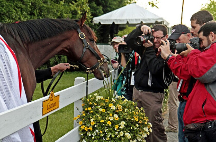 Kentucky Derby winner Orb grabs a snack from a flower basket outside the stakes barn at Pimlico Race Course on Wednesday.