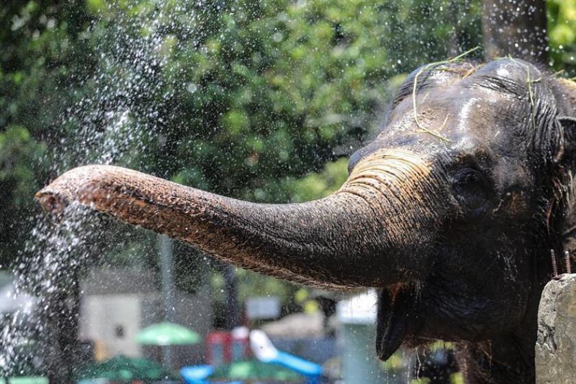 Vista de una elefanta mientras se refresca. EFE/Archivo