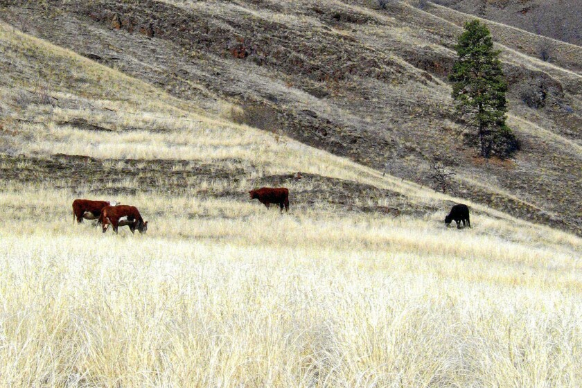 FILE - In this March 11, 2005, file photo, cattle graze in the lower Imnaha Canyon in northeastern Oregon, several miles from the Idaho border. Western Watersheds Project, an environmental group, says the U.S. government is running a secret cattle grazing program in six western states and won't release details, according to a lawsuit filed Tuesday, Sept. 24, 2019. in U.S. District Court. The group says the program puts private ranchers in charge of grazing on public lands without regard for wildlife such as sage grouse and endangered salmon. (AP Photo/Jeff Barnard, File)