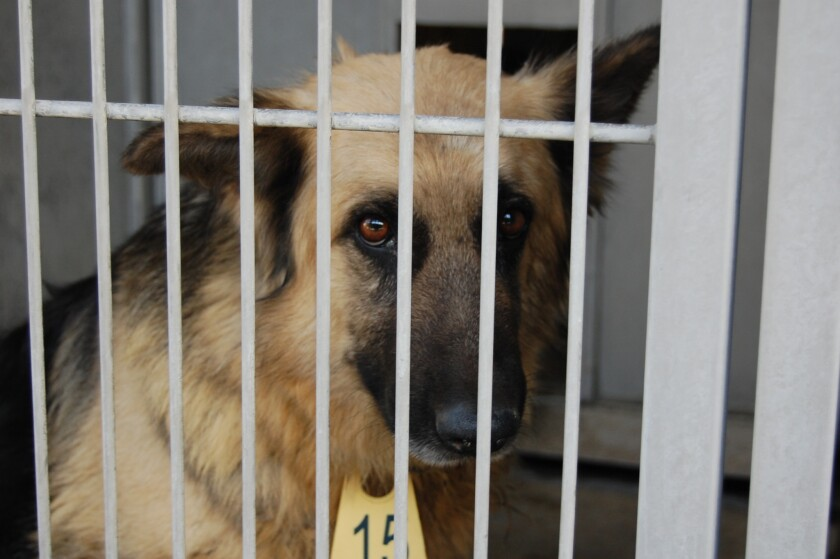 Thirty-eight German shepherd-mix dogs were found abandoned in a home in Highland on Monday. Two of them will be immediately available for adoption.