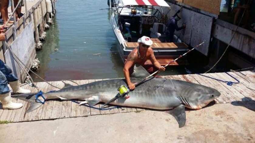 In this Aug. 3, 2014 photo provided by Ryan Spring, Spring poses with an 809-pound, 12-foot, 7-inch tiger shark he caught after reeling it in for more than seven hours in the Gulf of Mexico, off Port Aransas, Texas. It took about a dozen men to haul the male shark onto the dock. Spring plans to donate meat from the shark to charity. (AP Photo/Ryan Spring via The San Antonio Express-News) RUMBO DE SAN ANTONIO OUT; NO SALES