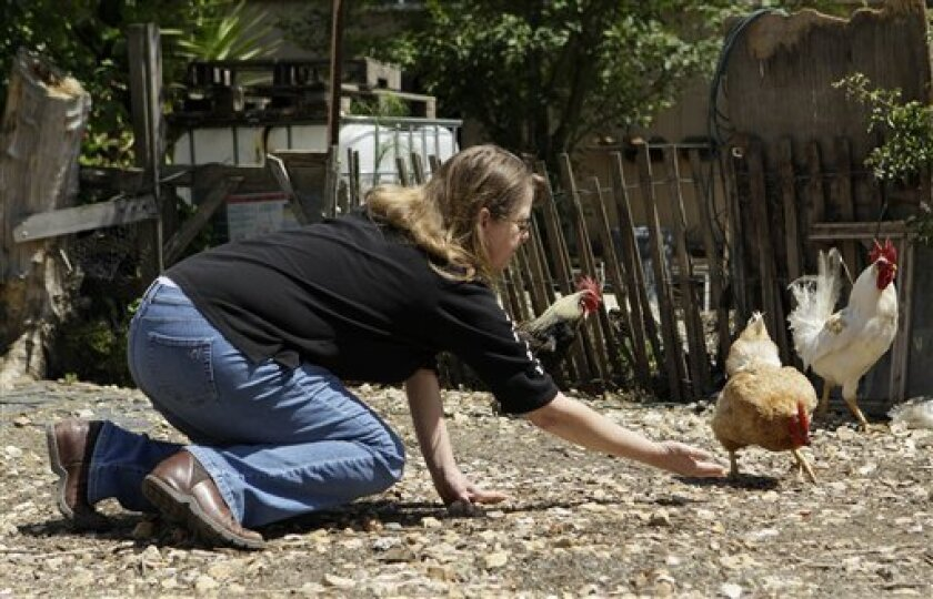 In this photo taken Wednesday, June 29, 2011, Cheryl Pfister feeds chickens in a residential yard near her Once Upon A Time antique shop in San Juan Bautista, Calif. San Juan Capistrano has its reliably returning swallows, but this lesser known mission town 400 miles north has its own feathered icon: the constantly squawking chicken. Hundreds run wild; feral fryers perhaps descended from ones brought by the first Franciscan friars in 1769. Too many, say those who have convinced the town council they are vermin in need of culling. (AP Photo/Jeff Chiu)