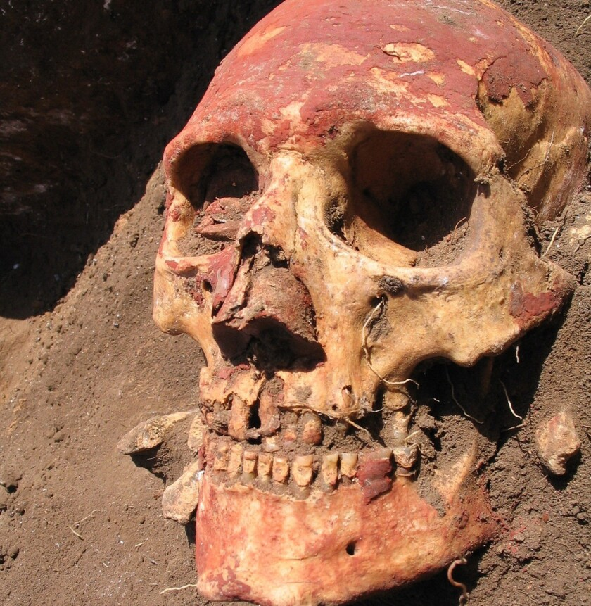 The skull of a member of the Yamnaya culture, excavated in the Samara region of Russia.