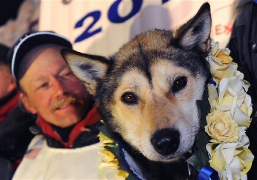 Mitch Seavey holds one of his lead dogs, Taurus, as he poses for photographers at the finish line of the Iditarod Trail Sled Dog race in Nome, Alaska, Tuesday, March 12, 2013.  Seavy became the oldest winner and a two-time Iditarod champion.   (AP Photo/The Anchorage Daily News, Bill Roth)  LOCAL T