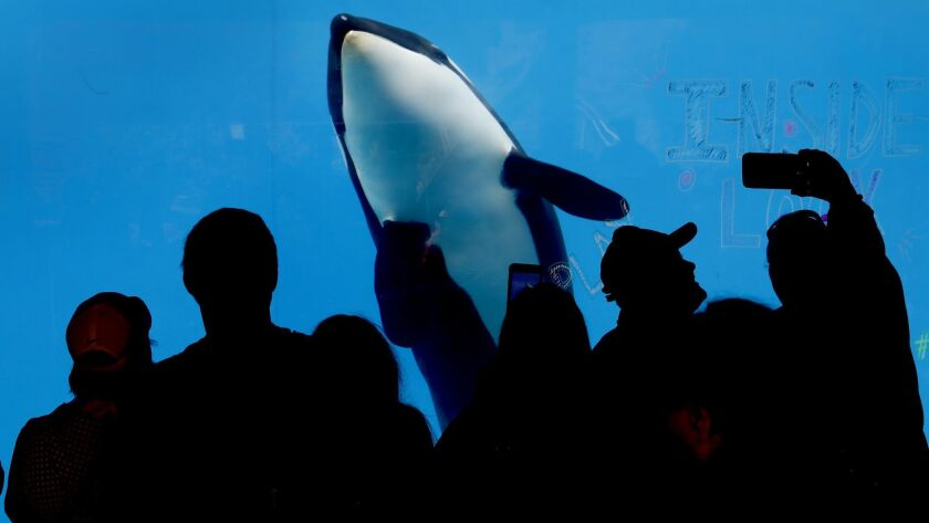 """SeaWorld attendees get on up close look at killer whales as SeaWorld San Diego returns with its popular """"Inside Look"""" programming where it takes visitors behind the scenes with the various animals. including otters, killer whales, penguins, turtles and sea lions."""